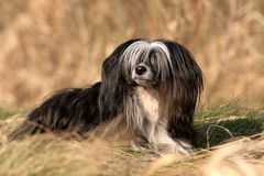 Chinese Crested Powder Puff lying Royalty Free Stock Images