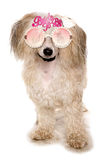 Chinese crested powder puff wearing bride to be glasses Stock Photography