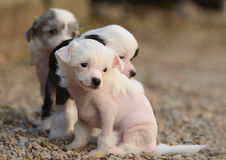 Chinese Crested puppies. In the garden Royalty Free Stock Images