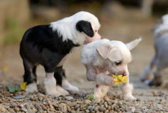 Chinese Crested puppies. Playing with a flower Royalty Free Stock Images