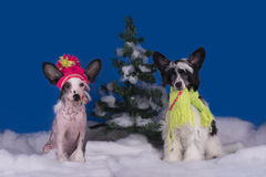 Chinese crested puppies playing at the snow-covered trees.  stock image