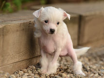 Chinese Crested puppies. Chinese Crested puppy in the garden Stock Photo