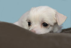 Chinese Crested puppies. Chinese Crested puppy in its bed stock photo