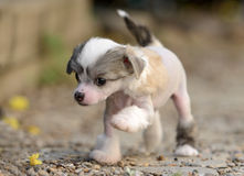 Chinese Crested puppies. Chinese Crested puppy making its first steps Royalty Free Stock Photography