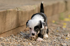 Chinese Crested puppies. Chinese Crested puppy making its first steps Royalty Free Stock Photos
