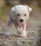 Chinese Crested puppies. Chinese Crested puppy making its first steps Stock Photos