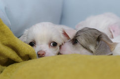 Chinese Crested puppies. In their bed Stock Image