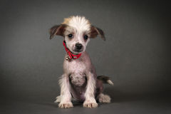 Chinese Crested Puppy.