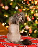 Chinese crested puppy dog looking back.  stock images