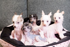 Chinese crested puppy dogs Stock Images