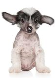 Chinese Crested puppy Stock Photography