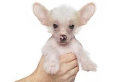 Chinese crested puppy Stock Photos