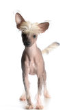 Chinese crested puppy Stock Image
