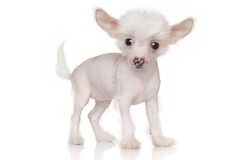 Chinese crested puppy Stock Images