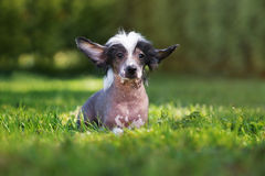 Chinese crested puppy posing outdoors Royalty Free Stock Image