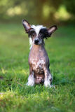Chinese crested puppy sitting outdoors Royalty Free Stock Images