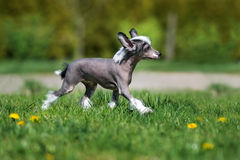 Chinese crested puppy walking outdoors Royalty Free Stock Photography