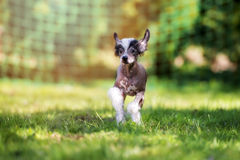 Chinese crested puppy walking outdoors Stock Images