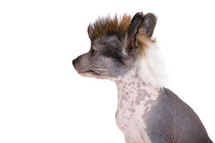 Chinese crested puppy on white Stock Photos
