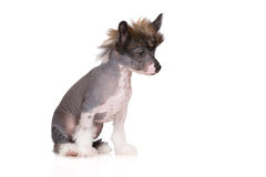 Chinese crested puppy on white Stock Image