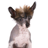 Chinese crested puppy on white Royalty Free Stock Photography