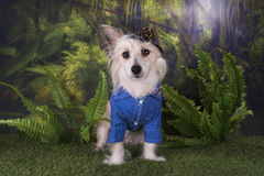 Chinese Crested travels in the summer rainforest Stock Photography