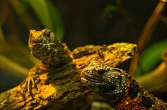 Chinese crocodile lizard at Schoenbrunn park Zoo Royalty Free Stock Photo