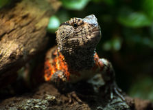Chinese crocodile lizard (Shinisaurus crocodilurus) Stock Photos