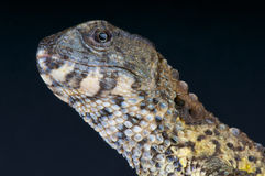 Chinese crocodile lizard / Shinisaurus crocodilurus Stock Images