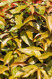 Chinese Croton-bladerenachtergrond Stock Afbeelding