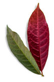 Chinese Croton leaves plant on a white background. royalty free stock images