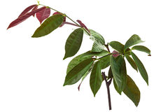 Chinese Croton plant Stock Images