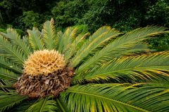 Chinese cycad, China Stock Image