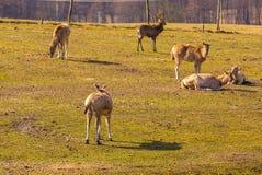 Chinese deer - David's Deer Stock Image