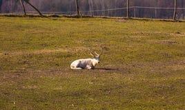 Chinese deer - David's Deer Stock Photos