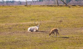 Chinese deer - David's Deer Royalty Free Stock Photography