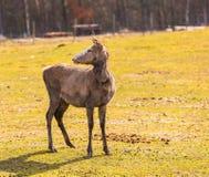 Chinese deer - David's Deer Royalty Free Stock Photo