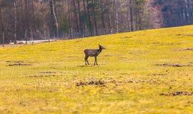 Chinese deer - David's Deer Stock Images