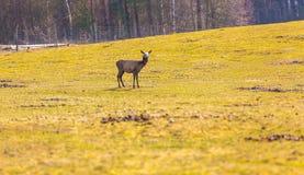 Chinese deer - David's Deer Royalty Free Stock Photos