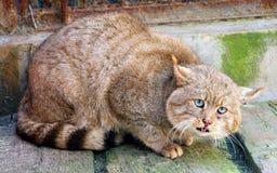 Chinese Desert Cat Stock Photos