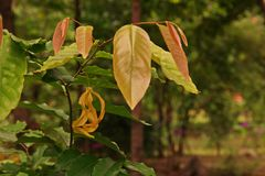 Chinese Desmos,fragrant vine flower plant royalty free stock image