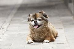 Chinese dog on footpath infront home Stock Photography