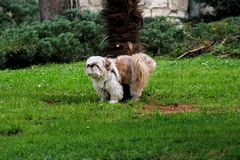 Chinese dog shih tzu outdoors in a park. Dog shih tzu. A beautiful Chinese dog shih tzu breed outdoors in a park. The portrait of cute funny Shih Tzu dog in the royalty free stock photo