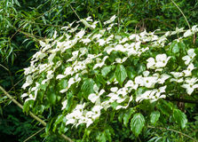 Chinese Dogwood, Cornus kousa, with inflorescences Royalty Free Stock Photography