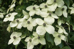 Chinese Dogwood Royalty Free Stock Images