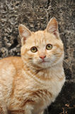 Chinese domestic cat. A small Chinese domestic cat stock images