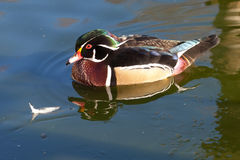 Chinese duck Stock Images