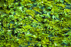 Chinese duckweed Royalty Free Stock Image