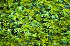 Chinese duckweed royalty free stock image