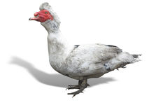 Chinese dumb duck isolated over white background Royalty Free Stock Photography